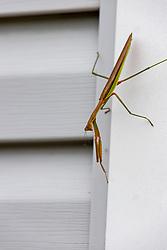 Chinese Mantis (Tenodera sinensis)