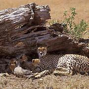 Cheetah, (Acinonyx jubatus) Mother and cubs resting in shade. Masai Mara Game Reserve. Kenya. Africa.