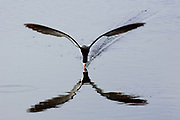 """Black Skimmer with reflection in the water leaves a wake as it """"skims"""" the surface with it's lower jaw in the water.(Rynchops niger).Bolsa Chica Wetlands,California"""