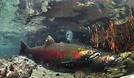 Coho Salmon<br /> <br /> Paul Vecsei/Engbretaon Underwater Photography