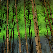 Northern Lights (Aurora Borealis) dance vividly behind an Aspen forest near Anchorage, Alaska during the winter.