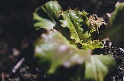 THEMENBILD - kleine Salatpflanzen in einem Beet, aufgenommen am 18. April 2020, Kaprun, Österreich // small salad plants in a bed on 2020/04/18, Kaprun, Austria. EXPA Pictures © 2020, PhotoCredit: EXPA/ Stefanie Oberhauser