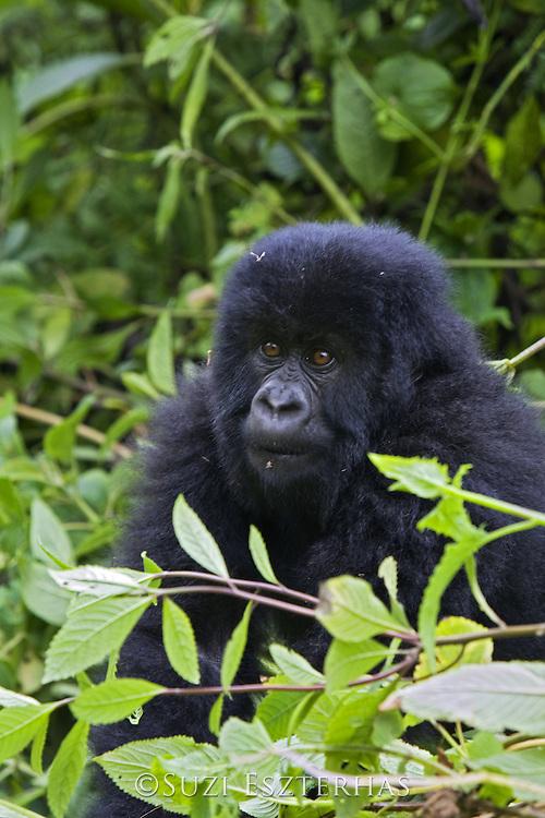 Mountain Gorilla<br /> Gorilla gorilla berengei<br /> Baby<br /> Virunga Volcanoes National Park, Rwanda<br /> *Endangered Species