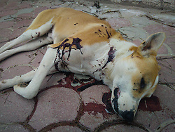 March 27, 2019 - Tunis, Tunisia - EDITORS NOTE: Image depicts graphic content] A stray dog dead body with bullet marks and covered in blood, is seen on the ground of a street in Ariana downtown, northern Tunisia, 6 km from the capital Tunis on March 27, 2019...The stray dog was probably shot and left to die on the streets by Municipality and Police Officers during the night from March 26 to March 27. (Credit Image: © Chedly Ben Ibrahim/NurPhoto via ZUMA Press)