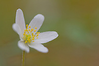 Wood Anenome, Anenome nemorosa, single flower with diffused background, North Wales - May
