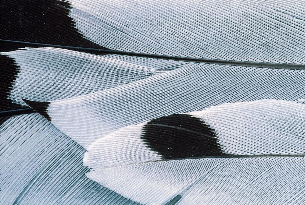 Black-legged kittiwake feather (Rissa tridactyla), Bering Sea Coastline, Chukotsk Peninnsula, NE Russia