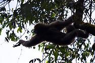 Skywalker hoolock gibbon, Hoolock tianxing, sitting in a tree in Xiang Bai village, Dehong, Yunnan, China
