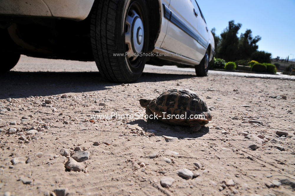 Close up of a Spur-thighed Tortoise or Greek Tortoise (Testudo graeca) tries to cross a road . Israel Summer September