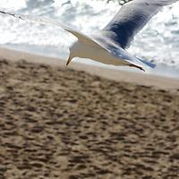 Coastal patrol by the seagulls, surveying their beach.