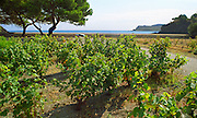 A vineyard in Collioure with a view over the Mediterranean sea, a tree and a boat, Languedoc-Roussillon, France