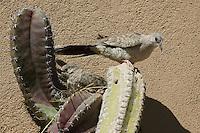 Inca doves, Columbina inca, building nest in cactus. Arizona-Sonora Desert Museum, Tucson, Arizona