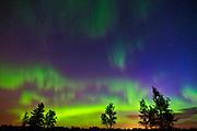 Northern lights and trees(Aurora borealis), Birds Hill Provincial Park, Manitoba, Canada