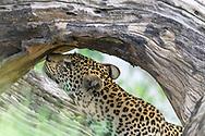Leopard sniffs the underside of a log, Chobe National Park, Botswana, © David A. Ponton