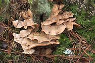 Tripe Fungus - Auricularia mesenterica