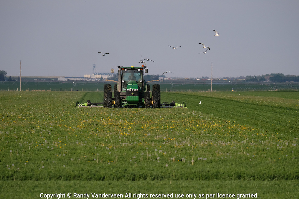 Photo Randy Vanderveen<br /> 2019-05-30,<br /> Lethbridge, Alberta<br /> A flock of gulls fly behind a farmer mowing a field south of the city of Lethbridge Monday evening as they take advantage of a smorgas board of insects and small animals rooted out by the implement.