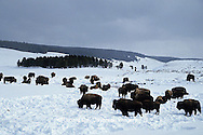 01985-015.16 Bison (Bison bison) in winter Yellowstone National Park   WY
