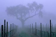 Oak tree and fog in vineyard in spring, near Villa Toscana, Paso Robles, San Luis Obispo County, California