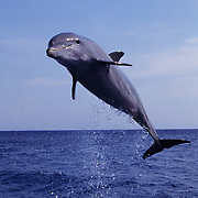 Bottlenose Dolphin (Tursiops truncatus) jumping in the waters of the Gulf of Mexico near Honduras.  Captive Animal.