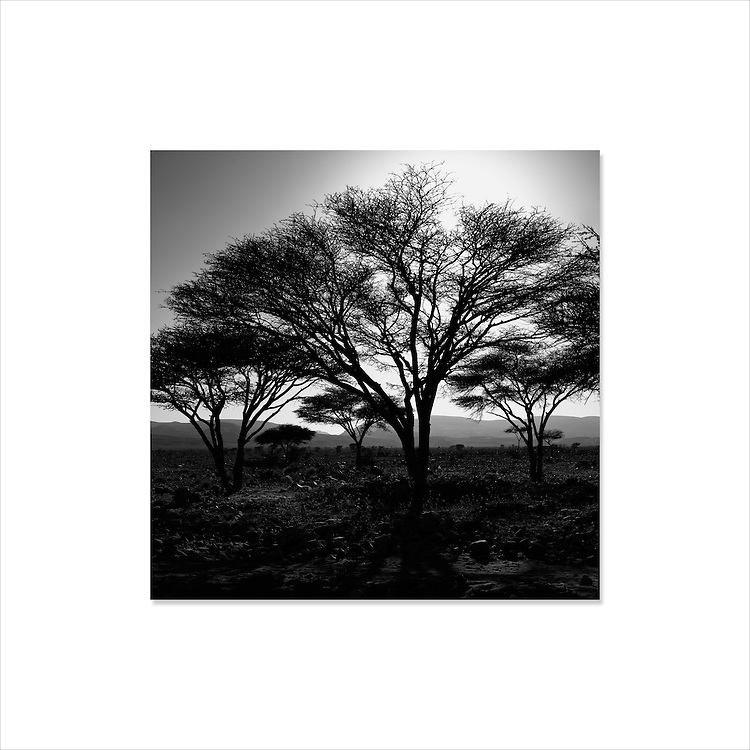 Acacia trees in the Sahara desert.
