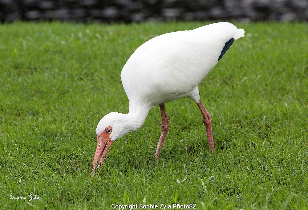 White Ibis found something