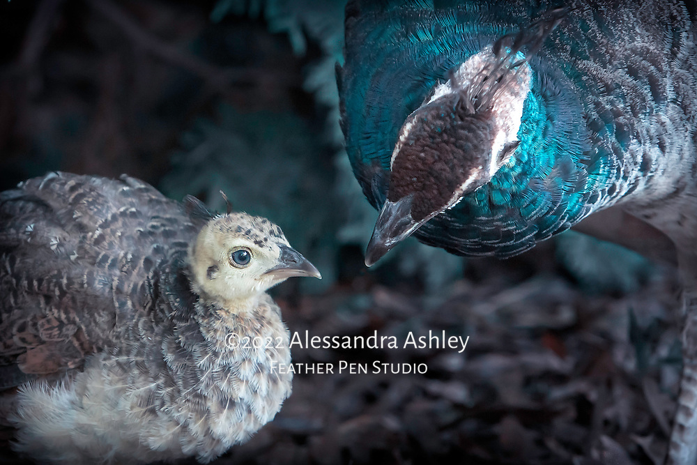 Peahen looking after young hatchling.  Image finished in cool tones to emphasize contrast between hen's blue-green and chick's soft yellow feathers.