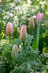 Tulipa 'Salmon Impression' growing through Phacelia tanacetifolia - Lacy phacelia, Fiddleneck, Scorpion weed
