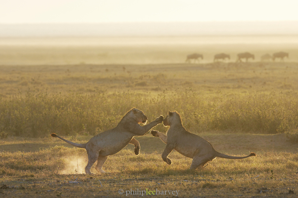 Two young Lions playing in Amboseli National Park, Kenya