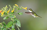 Female Booted Racket-tail hummingbird, Ocreatus underwoodii, feeds on a flower in Tandayapa Valley, Ecuador