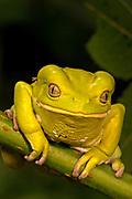 Painted Monkey Frog, Phyllomedusa sauvagii, Paraguay, South America, Gree, Eyes, Rainforest, Jungle, frogs outdoors tree-frog tree-frogs wild . Painted Monkey Frog (Phyllomedusa savaugi). Jack Milchanowski. amphibian. amphibians. animal. animals. cole-blo