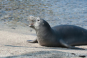 Hawaiian monk seal, Monachus schauinslandi( Critically Endangered ), 2.5 year old male picks up an ambon toby or pufferfish, Canthigaster amboiensis, after rolling it in the sand, possibly to remove noxious mucus; the fish was caught in the ocean, then brought to shore to cleanse it before consumption; Pu'uhonua o Honaunau ( City of Refuge ) National Historical Park, Kona, Hawaii