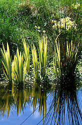 Waterside planting with Iris pseudacorus 'Variegata', primroses and grass at Ketley's, East Sussex<br />