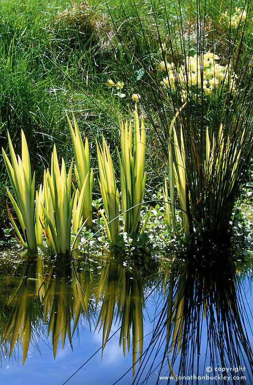 Waterside planting with Iris pseudacorus 'Variegata', primroses and grass at Ketley's, East Sussex<br />Yellow flag iris