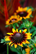 SHOT 7/29/2007 - Images of Rudbeckia hirta (common names: Black-eyed Susan, Blackiehead, Brown Betty, Brown Daisy, Brown-eyed Susan, Gloriosa Daisy, Golden Jerusalem, Poorland Daisy, Yellow Daisy, Yellow Ox-eye Daisy) is a flowering plant in the family Asteraceae. It is an upright annual (sometimes biennial or perennial) native to most of North America, and is one of a number of plants with the common name Black-eyed Susan that also has purple on the side..The plant can reach a height of 1-2 m. It has alternate, mostly basal leaves 20-75 cm long, covered by coarse hair. It flowers from June to August, with inflorescences measuring 10-15 cm in diameter (up to 30 cm in some cultivars), with yellow ray florets circling a brown, domed center of disc florets..(Photo by Marc Piscotty/ © 2007)