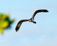 Osprey (Pandion haliaetus). Fort De Soto Park. St. Petersburg, Florida. Image taken with a Fuji X-T2 camera and 100-400 mm OIS lens.
