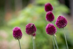 Allium sphaerocephalon AGM - Round headed garlic - with Bumblebee