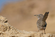 Arabian Babbler (Turdoides squamiceps) is a passerine bird belonging to the genus Turdoides, a genus of Old World babblers. Israel, Negev, Winter December 2007
