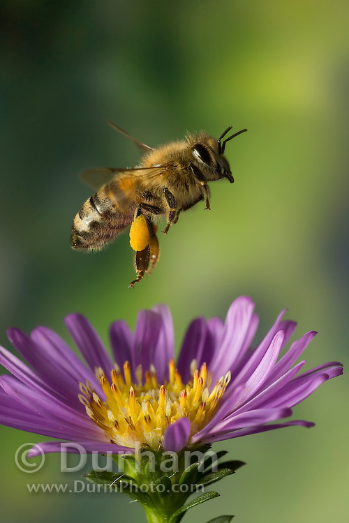 """honey bee (Apis mellifera) and a garden flower. Pollin has gathered on the legs into """"pollen baskets""""."""