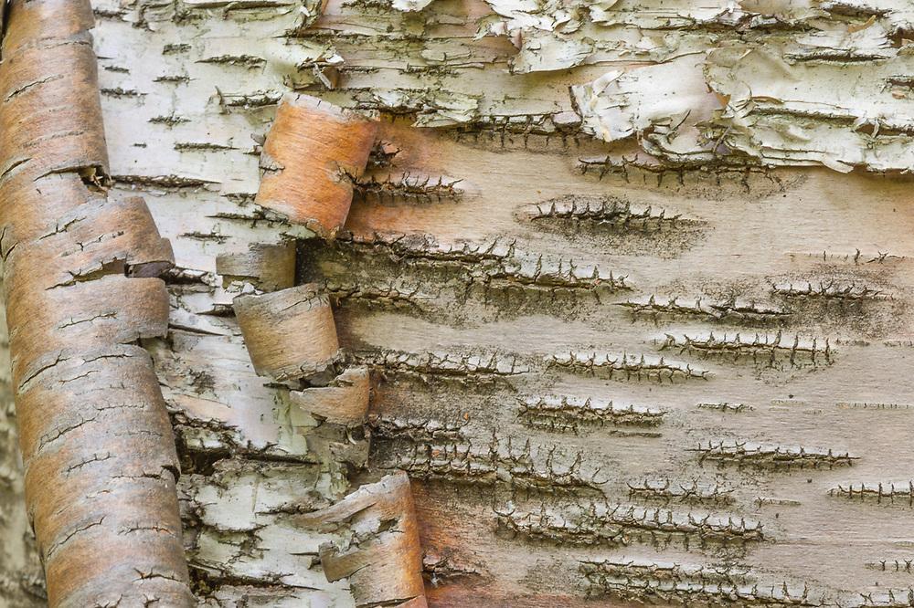Paper birch, October, Jordan River Valley, Mackinaw State Forest, Antrim County, Michigan, USA