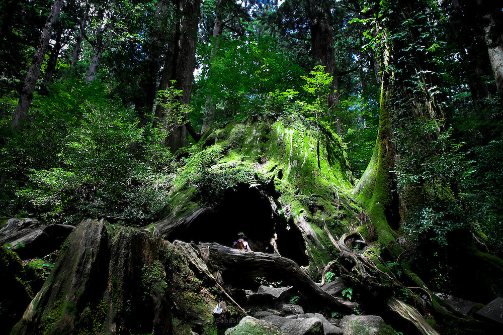 Japan, Yakushima - a woman in side the giant roots of the millenium cedar.