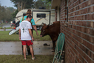 Victoria Ardoin and Cameron DeBate find a lost cow in Denham Springs Louisiana after a record flood.