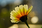 close up soft focus of a yellow daisy photographed from the back