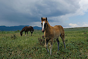 An inquisitive colt stops by to check me out while grazing with his momma in eastern Colorado near Trinidad.  A large thunderstorm brews in the background.