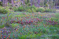 A field of California pitcher plants (Darlingtonia californica) growing in a wet bog in full flower! The flowers of this carnivorous plant open downward unlike many other species of our native pitcher plants, and this is believed to to keep water out, while allowing pollinators in. Wet flowers tend not to get pollinated. This makes sense as they are native to Northern California and Southern Oregon and if there's one thing the Pacific Northwest gets, it's a lot of rain. These were found growing in a peat bog in rural Josephine County, Oregon near the California border.