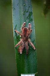 Pink-toed Tarantula, Tiputini