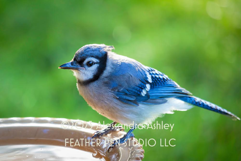 Juvenile blue jay (Cyanocitta cristata) perching on birdbath between sips. Backlit rim around bird highlights new crest.