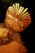 UNDERWATER MARINE LIFE CARIBBEAN, Grand Cayman Research submersible dive 800' deep, crinoids, rare deep-water sea lily