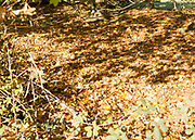 Fallen leaves leaf litter in autumn beneath deciduous tree, Suffolk Sandlings heathland, Shottisham, Suffolk, England, UK