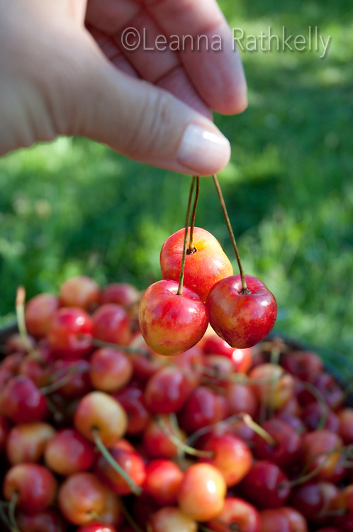 A bucket of ripe Ranier Cherries are freshly picked in the Okanagan, BC