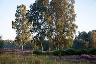 flowering common heather (Calluna vulgaris) and birch trees in the Wahner Heath near Telegraphen hill, Troisdorf, North Rhine-Westphalia, Germany.<br /> <br /> bluehende Besenheide (Calluna vulgaris) und Birken in der Wahner Heide nahe Telegraphenberg, Troisdorf, Nordrhein-Westfalen, Deutschland.