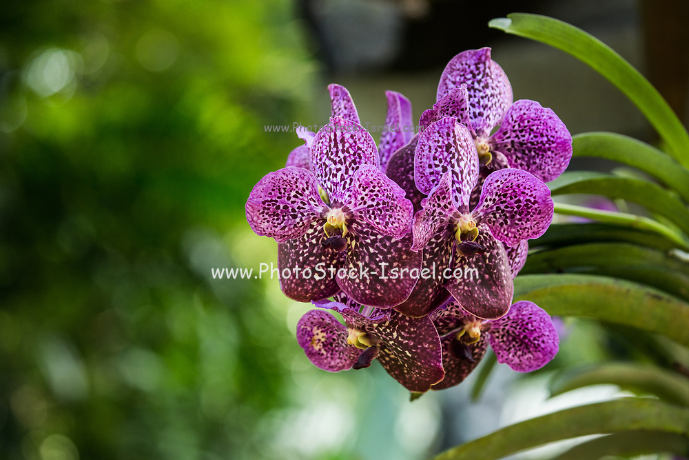 Close up of a flowering purple Orchid at the botanic garden on Mahe Island, Seychelles